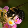 Drone bee collecting pollen and nectar from backyard Lantana.