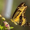 Great Swallowtail Butterfly on Judy's Lantana.  Shot 082715.