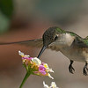 Ruby-throated Hummingbird in our backyard.  Shot from the patio on 082615.  No Flash.