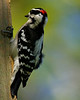 Hairy-back Woodpecker in my sister's backyard.
