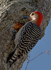 Adult Male Red-bellied Woodpecker.  Actually, an out-of-towner that seemed to go with the company.