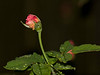 Used this moisture laden rose petals and its leaves to set the flash on manual to the illumination required for the shot.