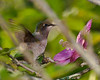 Since there was so much intervening foliage, I had to resort to pre-focusing.   Hummingbird was just about to suck from the center of the Rose of Sharon.  Very early in the morning.