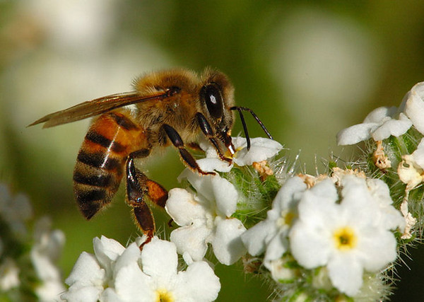 NOT MY PHOTOGRAPH.  Photo of an Africanized-honeybee taken from a Googled site for reference.