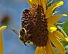 Bee on sunflower. ISO500, F10, 1/500 sec., 200mm in 35mm, + 0.33 exp. bias.