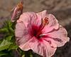Pink Hibicus.  MicroAdj +4.