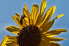 Bee flying over sunflower.  ISO500, F10, 1/1000 sec., 150mm in 35mm, + 0.33 exp. bias.