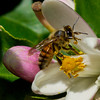 Bee gathering pollen on the Meyer Lemon Trees.