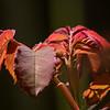 Rose Bush leaves.
