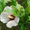 Rose of Sharon or Althea.