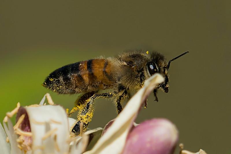 Honeybee shot on Meyer Lemon tree blossoms.