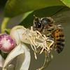 Honeybee gathering nectar and pollen from Myer Lemon Tree blossoms.