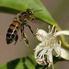 Honeybee hovering over a Myer Lemon Tree blossom.