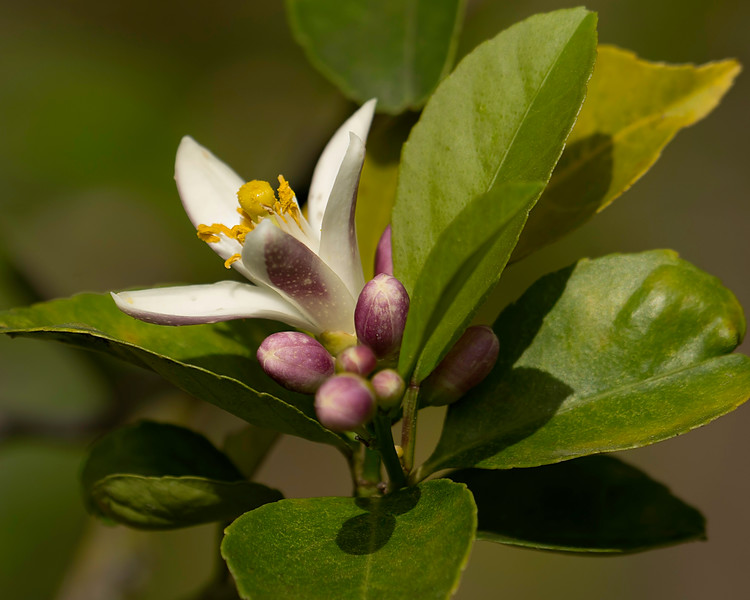 Blossom from an eponymous citrus tree.