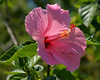 Hibiscus with 11 AM light behind flower with partial overhead shade sources.