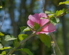 Althea or Rose of Sharon taken in 11 AM light.