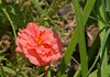 Common Names: moss rose, portulaca taken in 11 AM light.