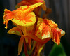 Canna Lily taken in 11 AM light.