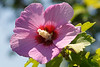 Althea or Rose of Sharon Taken with at about 11 AM.