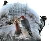 Pretty-coat woodpecker & friends
