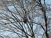 Eagle in our frosty tree