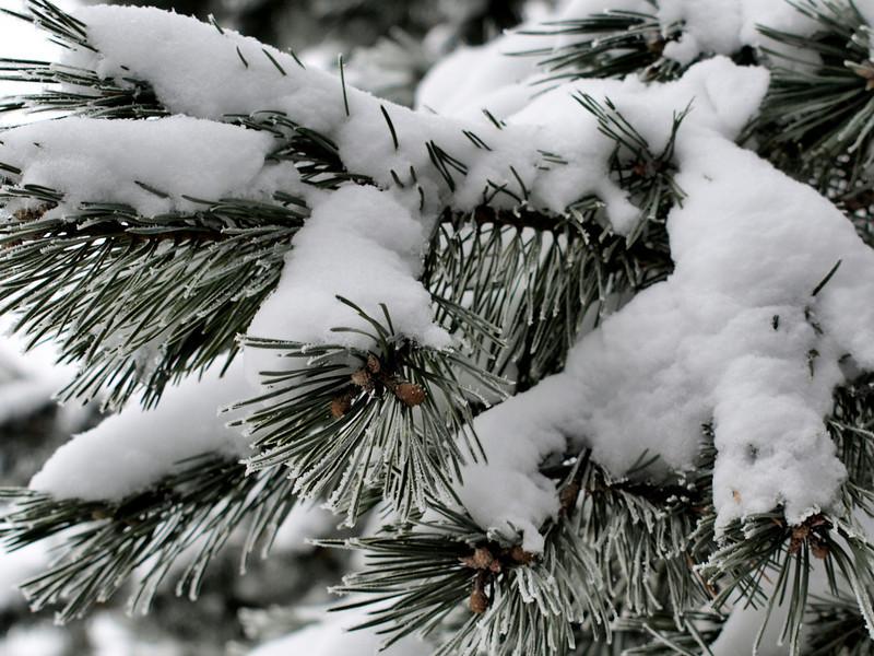 Fluffy Pine
