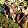 Young Skunk Cabbage III