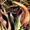 Young Skunk Cabbage II
