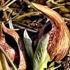 Young Skunk Cabbage II