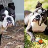 Before and after cherry eye/entropion surgery