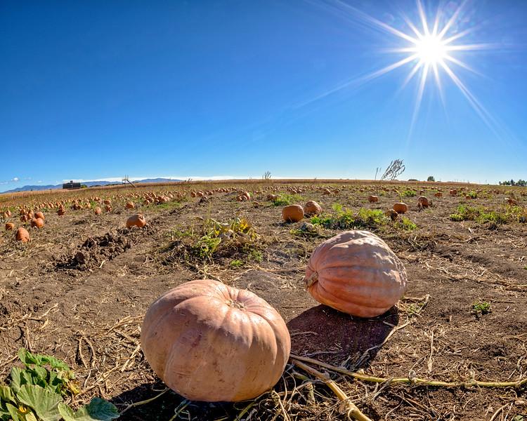 Huge pumpkin in a pumpkin patch