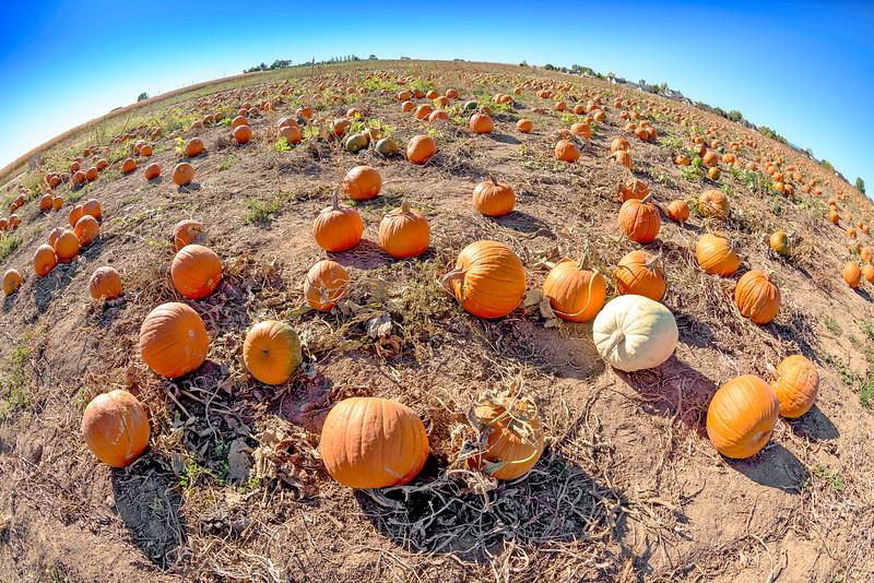 Unique prespective of a pumpkin patch in Idaho