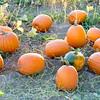 Natural organic pumpkins on a farm
