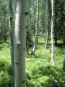 Aspens in the summertime - near Flagstaff, Arizona