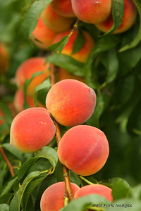 Daddy's Peaches - Springdale, Arkansas