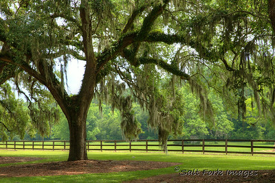 Southern Live Oak draped with Spanish Moss - Boone Hall Plantation - Mount Pleasant, South Carolina