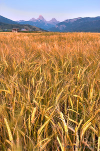 Barley harvest will be starting soon in Teton Valley, Idaho, in the shadows of the Teton Range.
