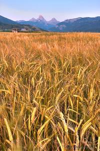 Barley harvest will be starting soon in Teton Valley, Idaho, in the shadows of the Teton Range.