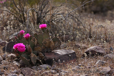The cactus were blooming in Nevada near Hoover Dam.