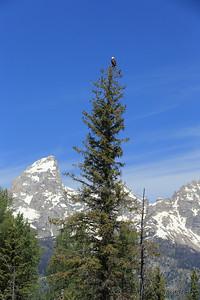 Bald Eagle above the Tetons - Grand Teton National Park