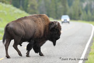 Rush Hour - Yellowstone National Park