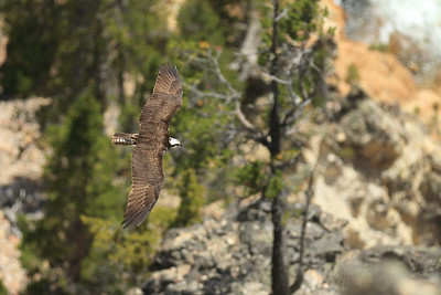 Osprey over the Grand Canyon of the Yellowstone - Wyoming