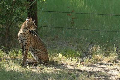 Bobcat in Texas