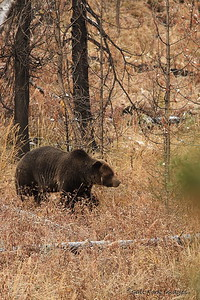 Grizzly Bear - Along the John D. Rockefeller, Jr., Parkway - Wyoming