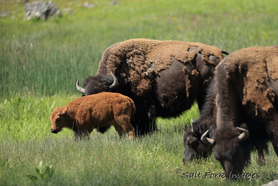 Bison babies are the best!