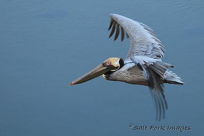 Pelican in South Carolina