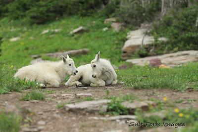 Mountain Goat kids - Glacier National Park, Montana