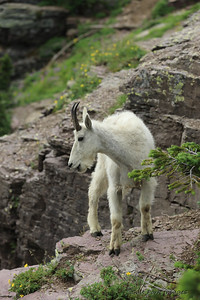Mountain Goat - - Glacier National Park, Montana