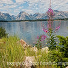 Grand Teton National Park and Fireweed; photographed at Jackson Lake; best viewed in the largest sizes