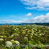 Giant Hogweed on Cape Blanco